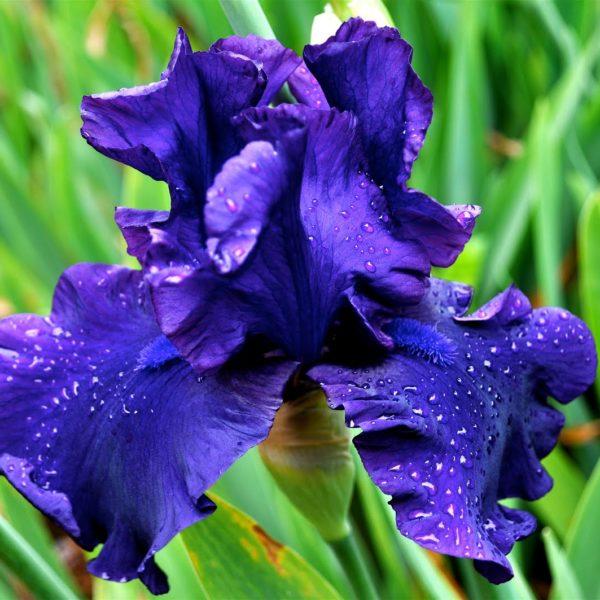 Ирис касатик синий