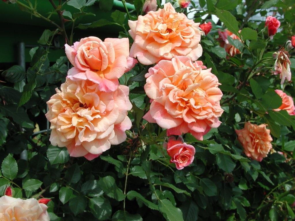 всегда плетистая роза алоха фото эти годы стали