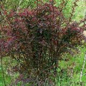 Барбарис оттавский Аурикома, высота 30-70 см