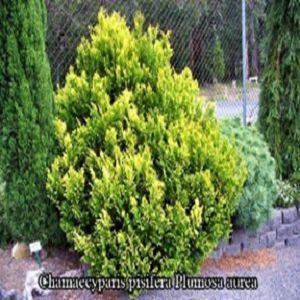 Кипарисовик Горохоплодный Плюмоза Ауреа