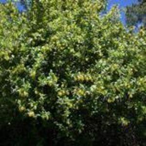 Барбарис Обыкновенный, высота 40-60